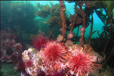 brooding anemones above urchins