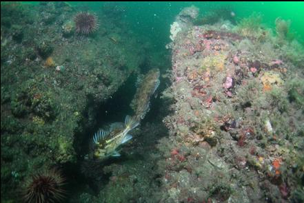 copper rockfish and cabezon