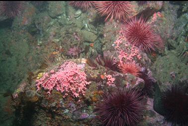 hydrocoral and urchins at base of wall