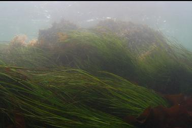 surfgrass near surface