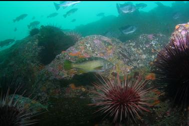 urchins and rockfish on wall