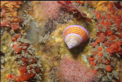 purple ring-top snail and pink hydroids