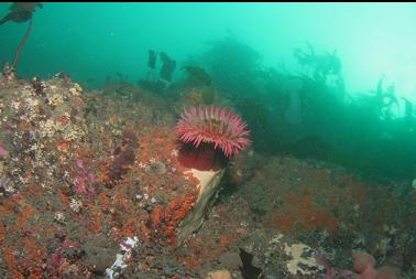 fish-eating anemone near top of wall
