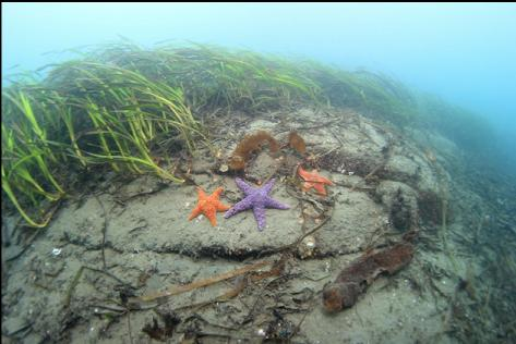 seastars and eelgrass in the shallows
