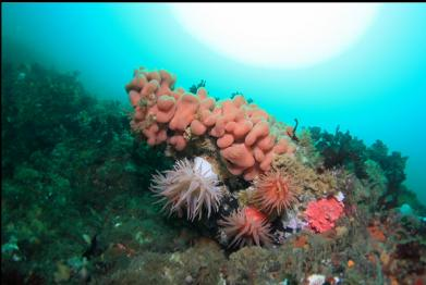 crimson anemones and tunicate colony