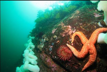 seastar and anemones near top of wall