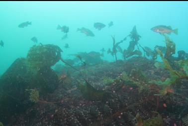 rockfish at top of reef 45 feet deep