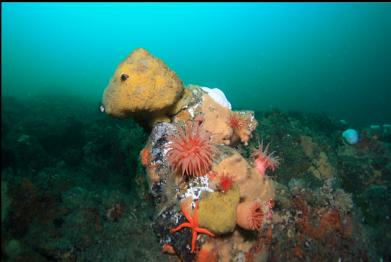crimson anemones and sulphur sponge