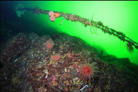 crimson anemones and a power cable
