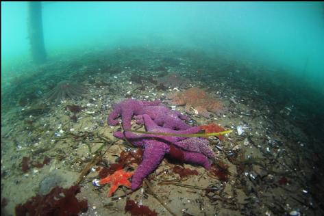 seastars under a dock in the bay