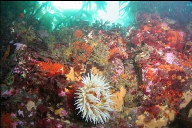 fish-eating anemone at top of wall