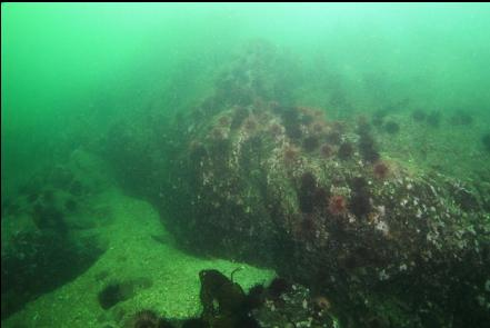 rocky reef with urchins