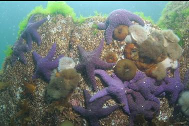 seastars and anemones near surface