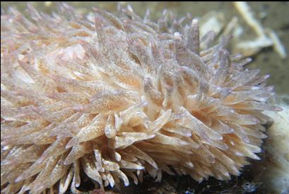 shaggy mouse nudibranch