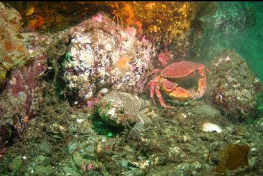 buffalo sculpin next to red rock crab