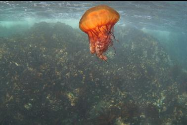 jellyfish near boat