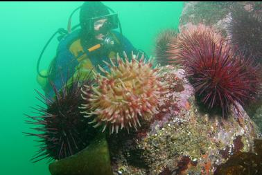anemone and urchins in clearer area