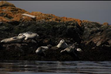 seals on rocks with telephoto lens