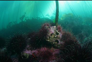 urchins and barnacles under kelp