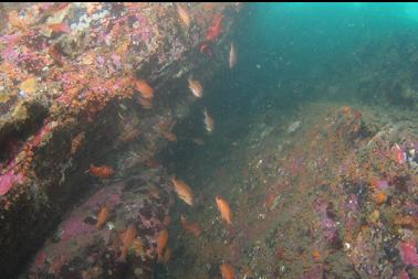 Puget Sound rockfish in crack on 2nd wall