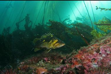 copper rockfish under kelp