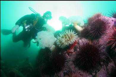 anemones and urchins at tip of point
