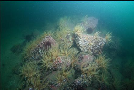 feather stars on boulders
