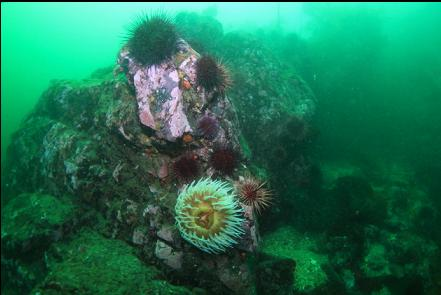 urchins and fish-eating anemone