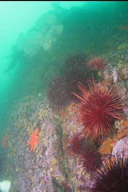 urchins etc near top of 2nd wall