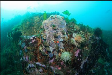 crimson anemones and tritons laying eggs