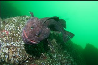 ATTACKING LINGCOD