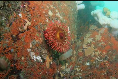 fish-eating anemone on wall