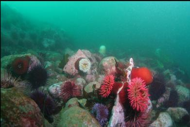 fish-eating anemones in rubble area