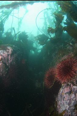 urchins in shallows
