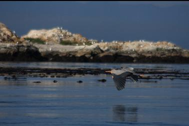Heron flying by Great Chain Island