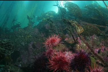 urchins under kelp
