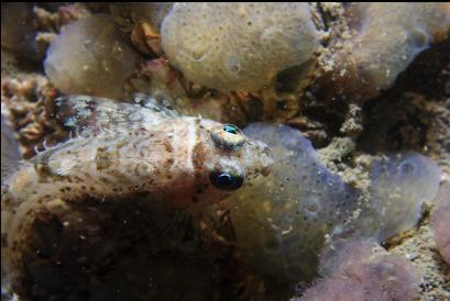 sculpin on tunicates
