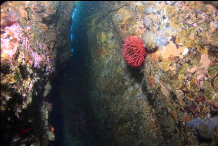 fish-eating anemone in the vertical crack