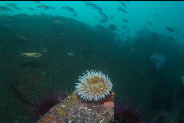 fish-eating anemone at base of wall 100 feet deep