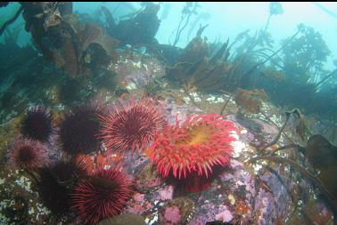 fish-eating anemone and urchins in shallows