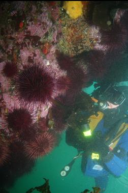 urchins and yellow sponge