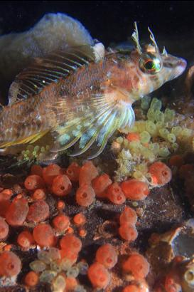 longfin sculpin and tunicates on piling