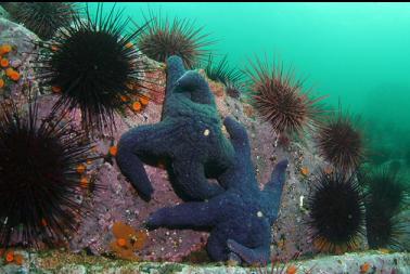 seastars and urchins in shallows