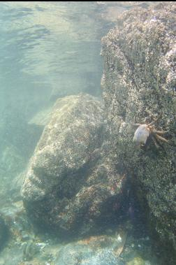 kelp crab near surface