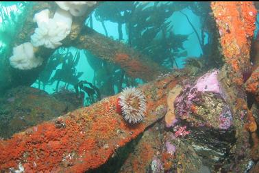 anemone on wreckage