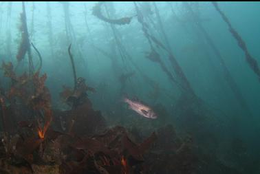 black rockfish under kelp